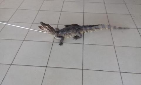 Jacaré é encontrado em banheiro de escola em Coruripe, AL